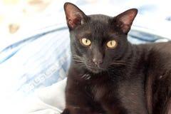 Cara do olhar dos gatos pretos Fotografia de Stock Royalty Free