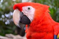Cara do papagaio vermelho grande Fotografia de Stock