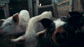 Cara do porco do retrato que aspira e que olha a câmera na fazenda de criação video estoque