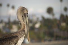 Cara do retrato do pelicano inclinada para baixo Fotografia de Stock Royalty Free