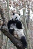 Cara do ` s da panda do close-up, Chengdu, China Fotos de Stock Royalty Free
