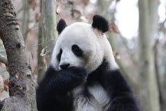 Cara do ` s da panda do close-up, Chengdu, China Fotografia de Stock