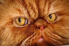 Cara do ` s do gato Imagens de Stock Royalty Free