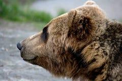 Cara do urso marrom Fotos de Stock Royalty Free