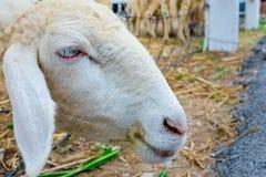 Cara dos carneiros do close-up fotografia de stock