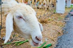 Cara dos carneiros do close-up imagem de stock royalty free