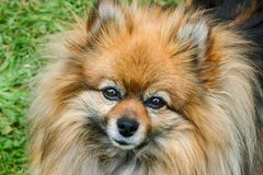 Cara dulce de un perro de Pomeranian. Foto de archivo libre de regalías