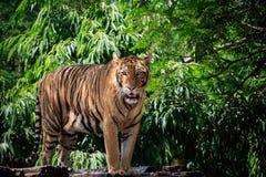 A cara e o corpo completo do tigre de bengal aproximam-se em selvagem foto de stock