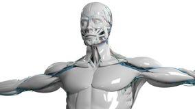 A cara e o torso humanos da anatomia na porcelana terminam no fundo branco liso ilustração do vetor