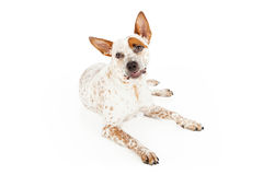Cara engraçada do cão de Queensland Heeler Fotografia de Stock