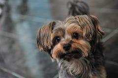Cara engraçada do cão do pequinês Imagem de Stock Royalty Free
