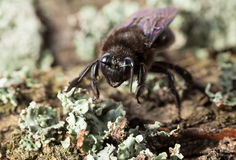 Cara europea del en de la abeja de carpintero en tronco de árbol viejo Imágenes de archivo libres de regalías