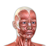 A cara fêmea Muscles a anatomia Imagens de Stock Royalty Free