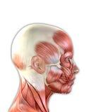 A cara fêmea Muscles a anatomia Fotografia de Stock Royalty Free