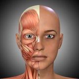 A cara fêmea Muscles a anatomia Foto de Stock Royalty Free