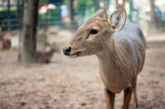 cara Frente-antlered de los ciervos Foto de archivo libre de regalías