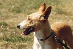 Cara grande del perro amarillo del refugio en la correa que presenta afuera en soleado Foto de archivo