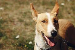 Cara grande del perro amarillo del refugio en la correa que presenta afuera en soleado Foto de archivo libre de regalías