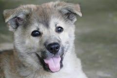 Cara Gray Puppy Dog pequeno do close-up imagens de stock