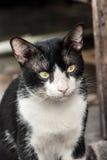 Cara irritada do gato preto e branco Imagens de Stock Royalty Free