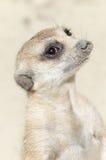 Cara linda de un meerkat animal marrón Fotografía de archivo libre de regalías