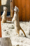 Cara linda de un meerkat animal marrón Imagenes de archivo