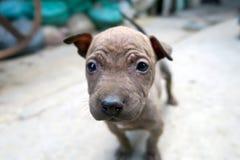 Cara linda del perrito, pequeño perrito marrón Imagenes de archivo