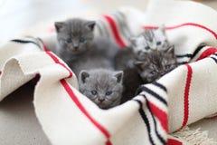 Cara linda, gatitos nuevamente llevados que miran para arriba Fotografía de archivo libre de regalías