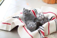 Cara linda, gatitos nuevamente llevados que miran para arriba Imágenes de archivo libres de regalías