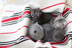 Cara linda, gatitos nuevamente llevados que miran para arriba Foto de archivo libre de regalías