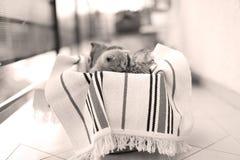 Cara linda, gatitos nuevamente llevados que miran para arriba Fotos de archivo libres de regalías