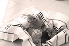 Cara linda, gatitos nuevamente llevados que miran para arriba Fotos de archivo