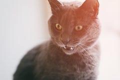 Cara loca de la diversión del gato gris Foto de archivo