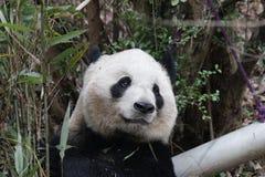 Cara macia do ` s da panda do close-up, Chengdu, China Imagens de Stock Royalty Free