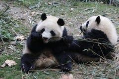 Cara macia do ` s da panda do close-up, Chengdu, China Imagem de Stock Royalty Free