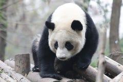 Cara macia do ` s da panda do close-up, Chengdu, China Imagem de Stock