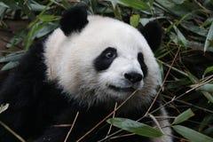 Cara macia do ` s da panda do close-up, Chengdu, China Fotos de Stock Royalty Free