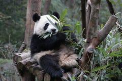 Cara macia do ` s da panda do close-up, Chengdu, China Fotografia de Stock