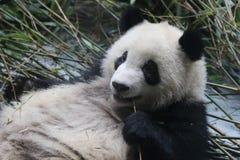Cara macia do ` s da panda do close-up, Chengdu, China Imagens de Stock