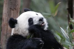 Cara macia do ` s da panda do close-up, Chengdu, China Foto de Stock Royalty Free