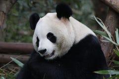 Cara macia do ` s da panda do close-up, Chengdu, China Fotografia de Stock Royalty Free