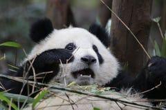 Cara macia do ` s da panda do close-up, Chengdu, China Foto de Stock