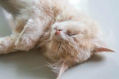 Cara masculina bonito nova do gato persa no momento do sono fotos de stock