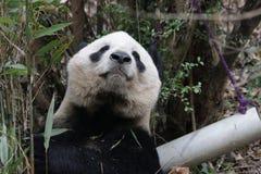 Cara mullida del ` s de la panda del primer, Chengdu, China Imagen de archivo