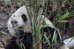 Cara mullida del ` s de la panda del primer, Chengdu, China Imagen de archivo libre de regalías