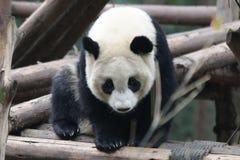 Cara mullida del ` s de la panda del primer, Chengdu, China Foto de archivo libre de regalías