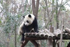 Cara mullida del ` s de la panda del primer, Chengdu, China Fotografía de archivo libre de regalías