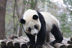 Cara mullida del ` s de la panda del primer, Chengdu, China Foto de archivo