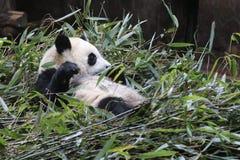 Cara mullida del ` s de la panda del primer, Chengdu, China Fotografía de archivo