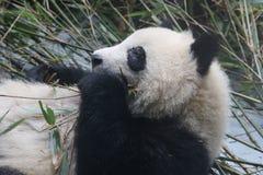 Cara mullida del ` s de la panda del primer, Chengdu, China Fotos de archivo libres de regalías